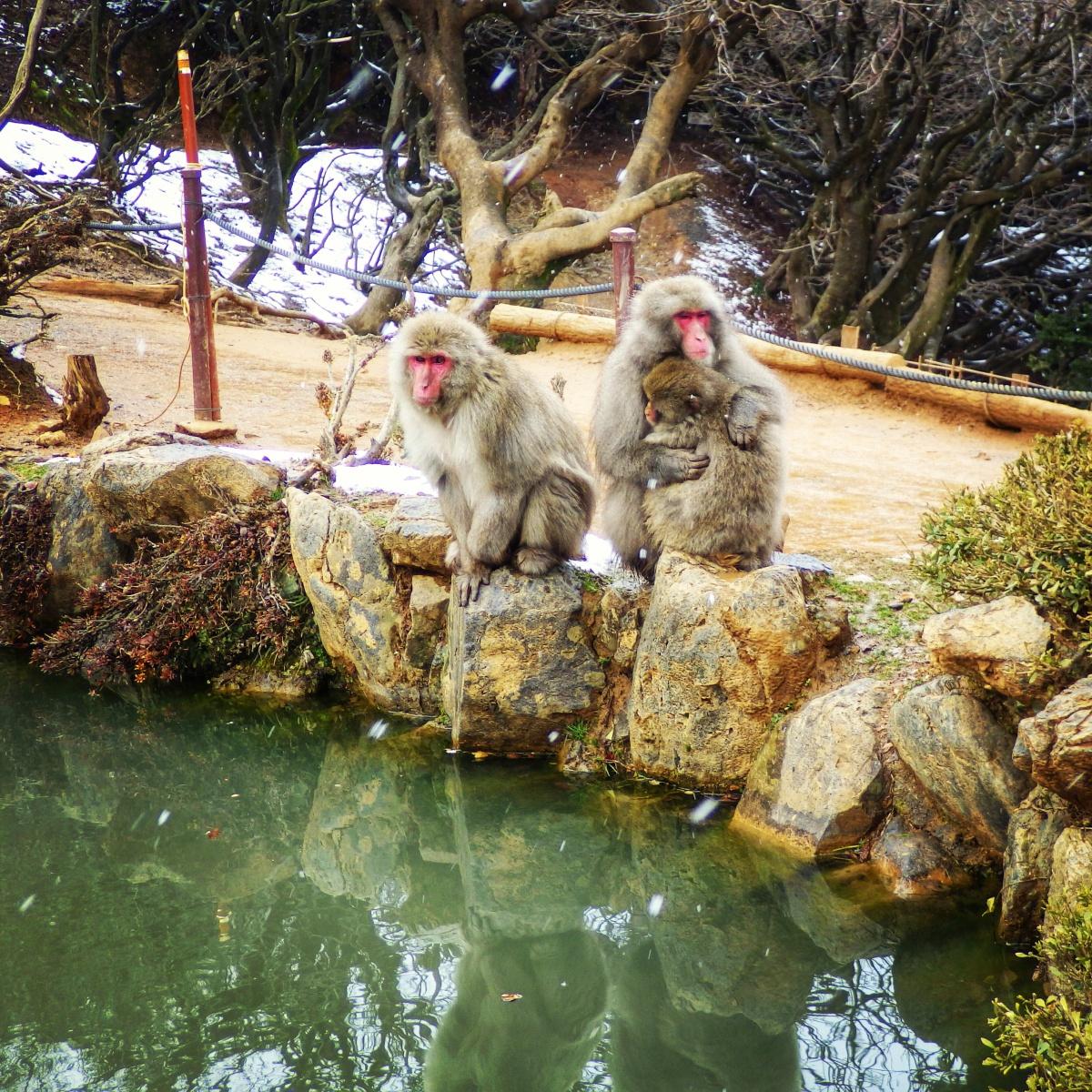 Arashiyama monkeys Kyoto